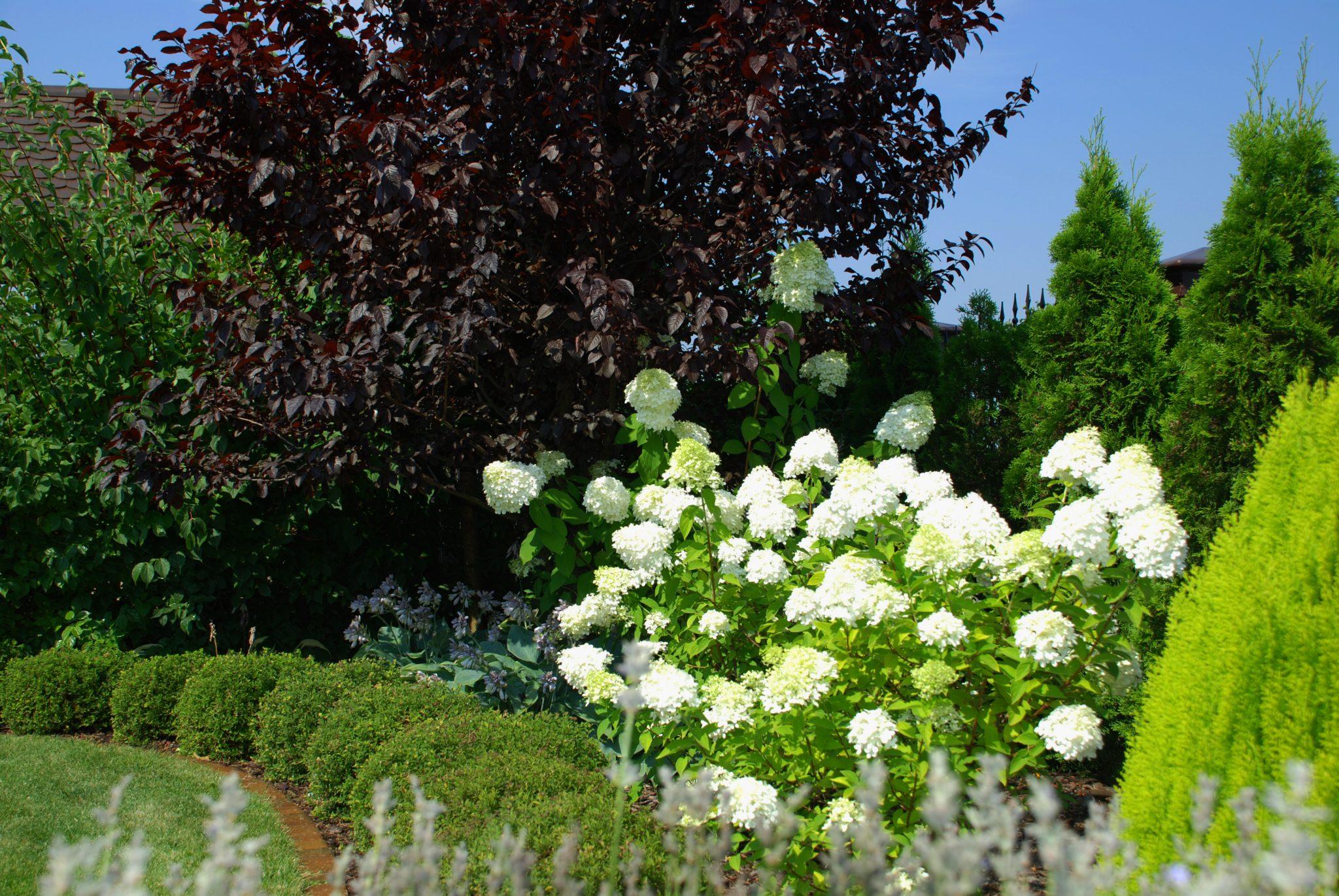 dobry ogród hortensja Lime Light