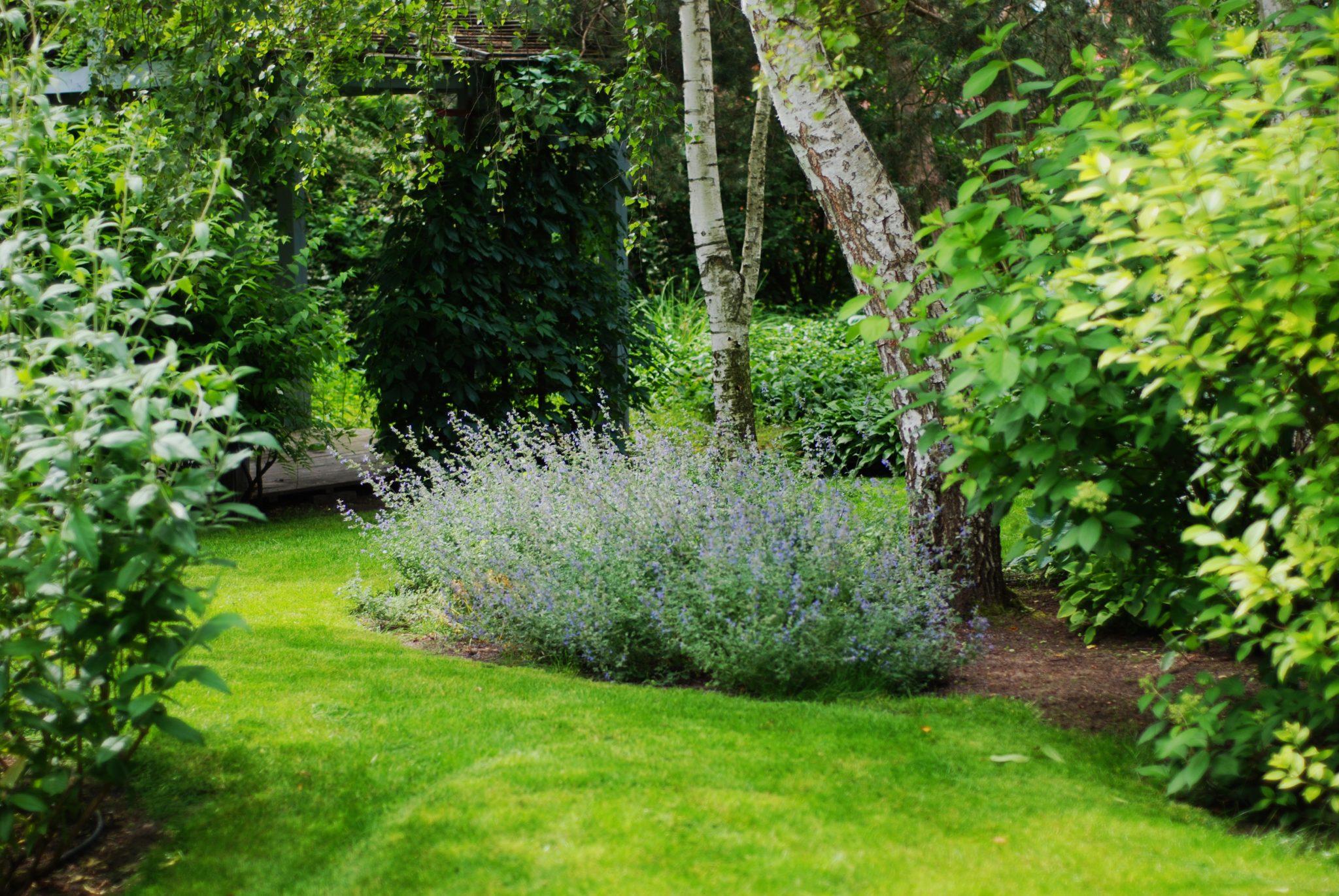 Dobry Ogród brzozy i kocimiętka