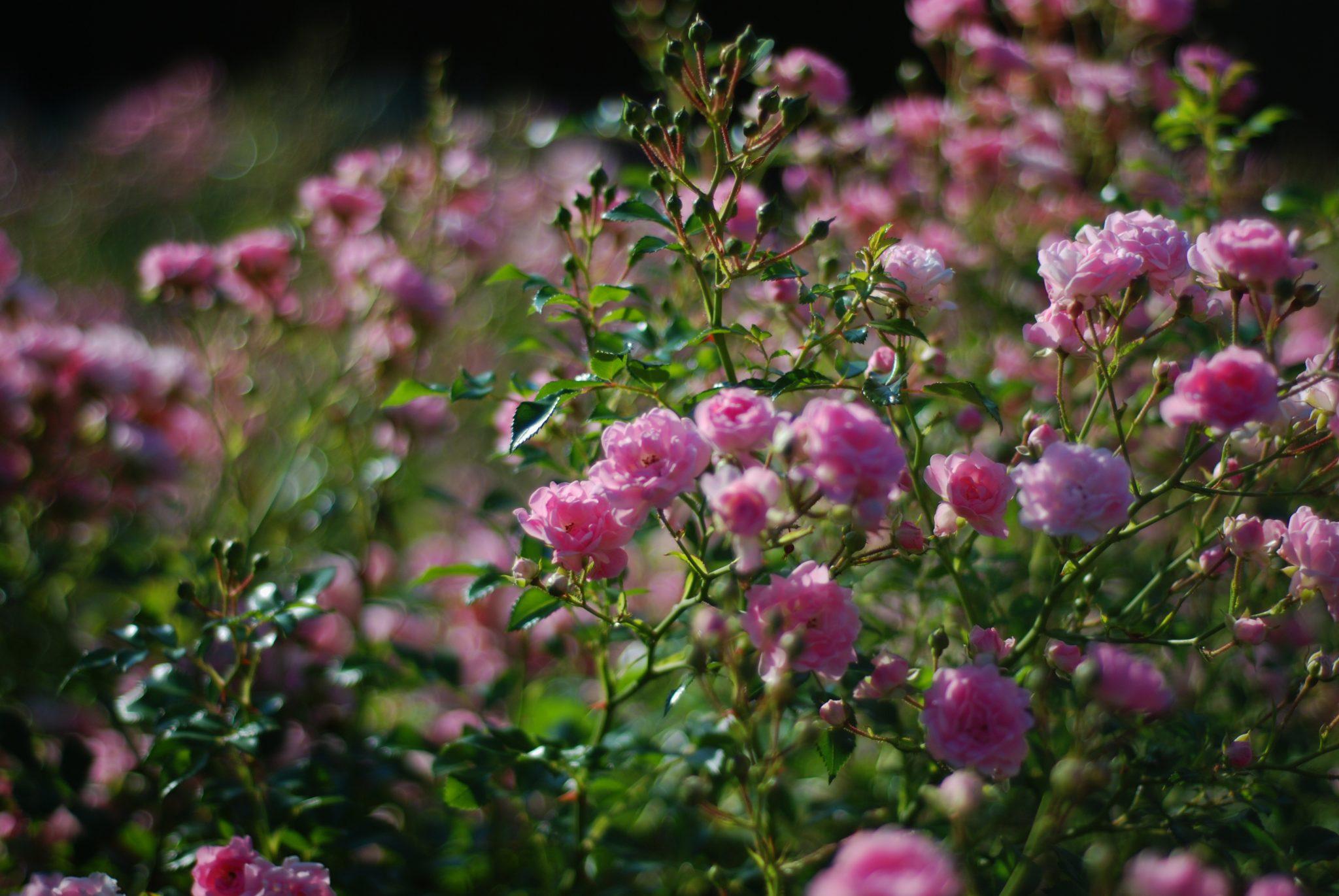 Dobry Ogród róże